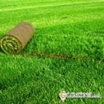 Рулонный газон: посадка и уход