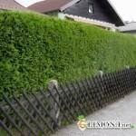 «Живой» забор