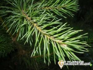 Хвойные-деревья-названия