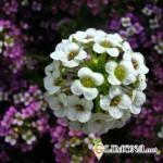 Алиссум – великолепное украшение для сада