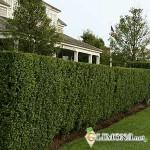 Как выбрать живую изгородь на дачу?