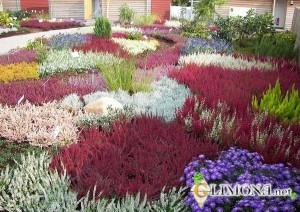 pflanzenbilder-calluna-heidepflanzung-beispiele-der-gartengestaltung