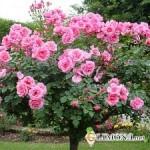 Как правильно осуществлять посадку плетистых роз