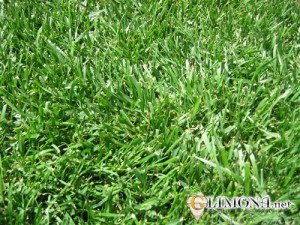 fescue_lawn_grass_seed