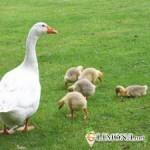 Как организовать собственный бизнес по разведению гусей