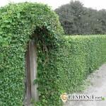 Декор участка. Как возвести живую зелёную изгородь?