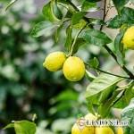 Как правильно посадить апельсиновое дерево