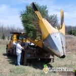 Правильная пересадка лиственных крупномеров