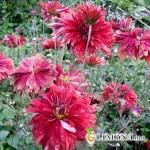Садовая хризантема - звезда осеннего сада