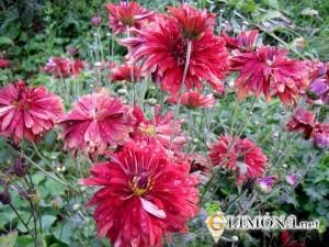 chrysanthemum_