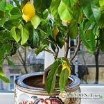 5 советов по выращиванию лимона в домашних условиях?
