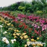 Размножение и выращивание роз черенковым методом