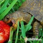 Правильное кормление черепах, содержащихся в террариуме