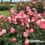 Выращиваем розы